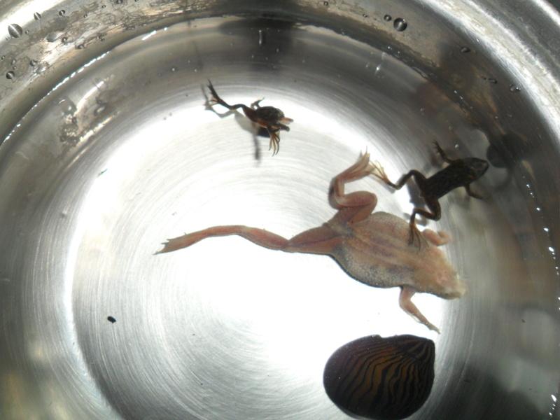 Mes grenouilles de petites tailles - Page 9 Sam_7421