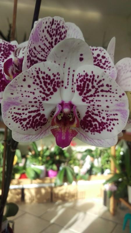 Phalaenopsis Antic Pearl Phal_a11