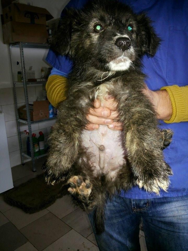 COLYSEE- chiot mâle, croisé, né env août 2016 - REMEMBER ME LAND -.décédé Alysee11
