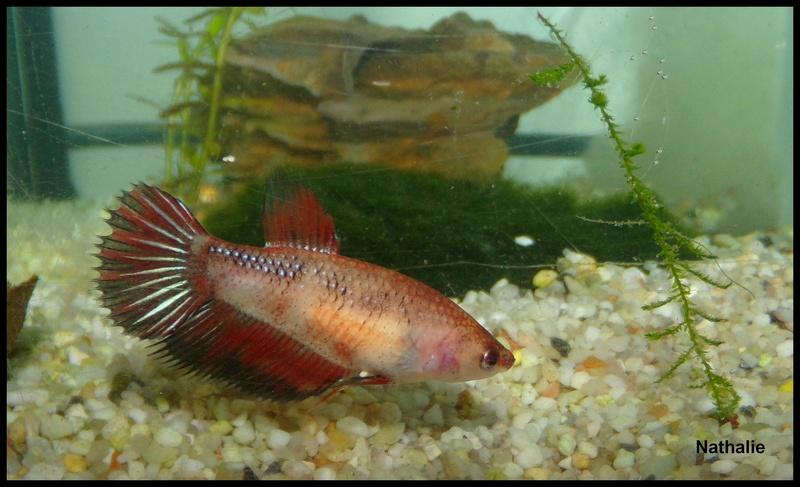 Repro male CT orange + femelle plakat marbré F2 101_1610