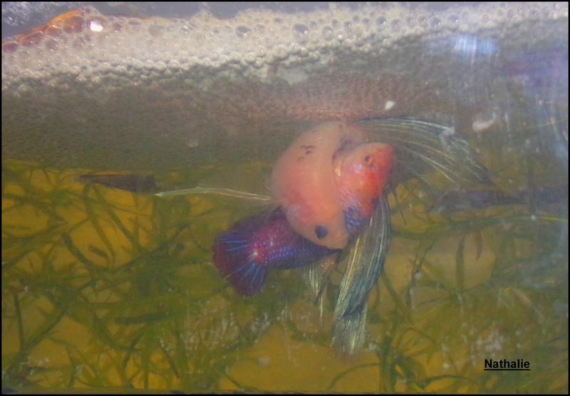Repro male CT orange + femelle plakat marbré F2 101_2710