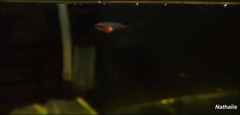 Repro male CT orange + femelle plakat marbré F2 101_3412