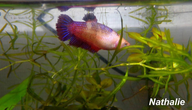 Repro male CT orange + femelle plakat marbré F2 14305210