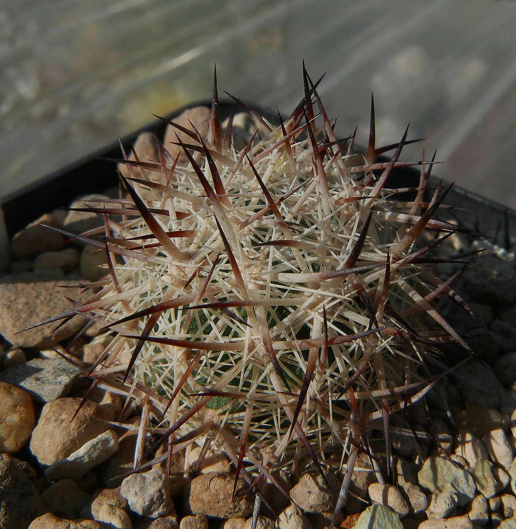 Escobaria vivipara var. alversonii  Escoba13