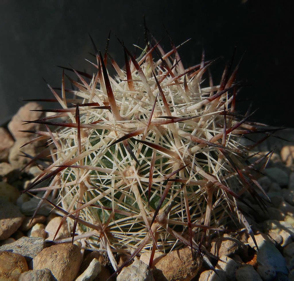 Escobaria vivipara var. alversonii  Escoba14
