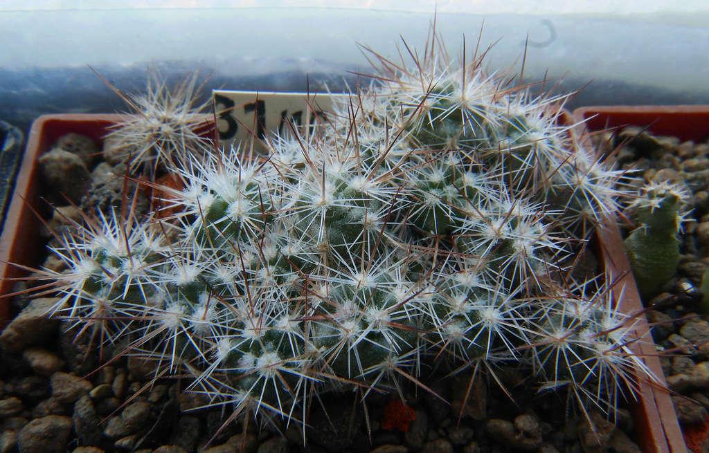 Escobaria vivipara var. alversonii  Escoba16