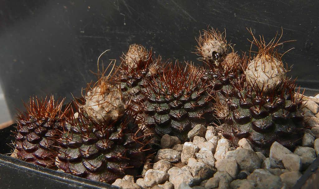 Frailea mammifera ssp. angelesiae Fraile10