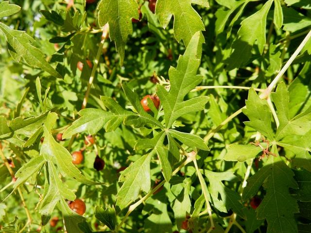 Ampelopsis aconitifolia Dscn3310