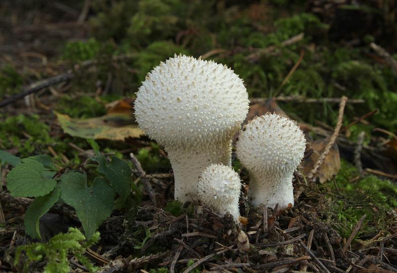 les champignons par ordre alphabétique. - Page 10 A_095