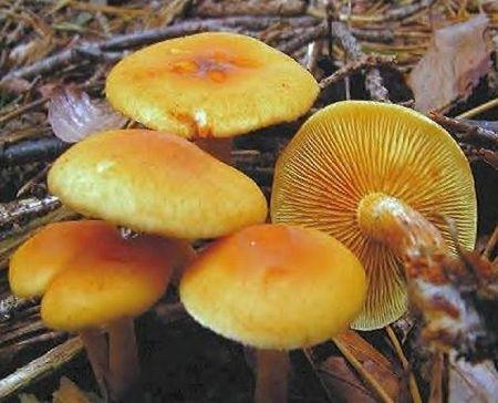 les champignons par ordre alphabétique. - Page 9 A_110