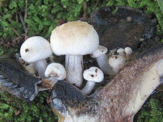 les champignons par ordre alphabétique. - Page 10 A_nyct10