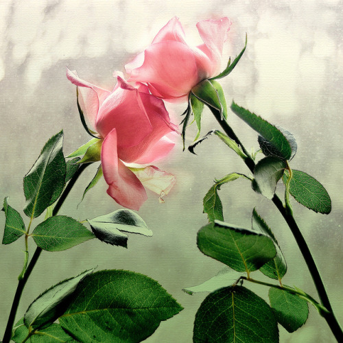 Le doux parfum des roses Ros_a11