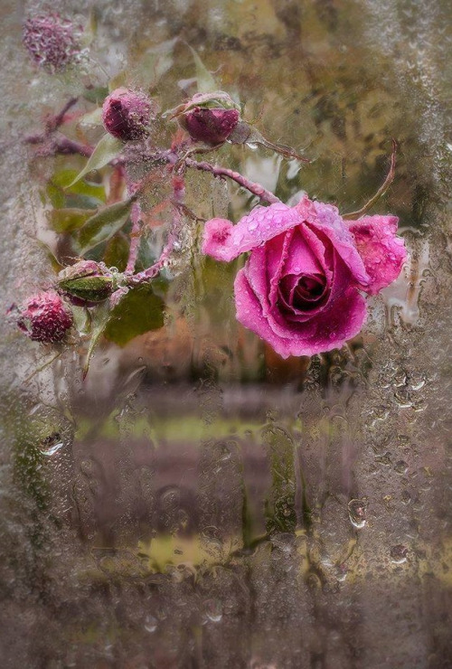 Le doux parfum des roses Ros_r10