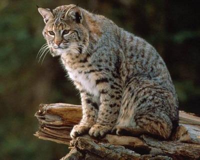 Acceptable Feline Breeds Bobcat10
