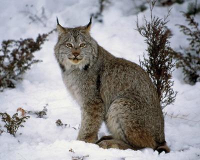 Acceptable Feline Breeds Canada10