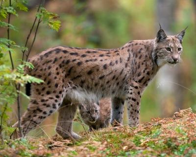Acceptable Feline Breeds Eurasi10