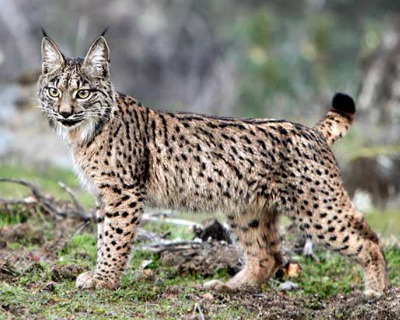 Acceptable Feline Breeds Iberia10