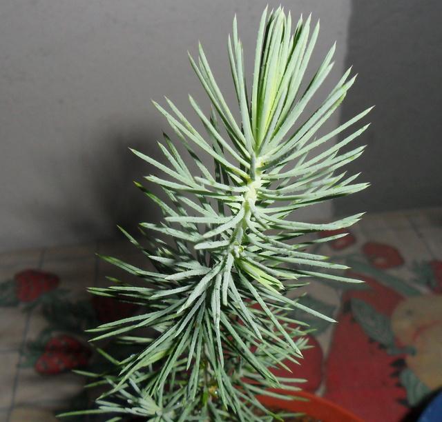 è nato un pino - È nato un pino!!! - Pagina 3 Sam_3411
