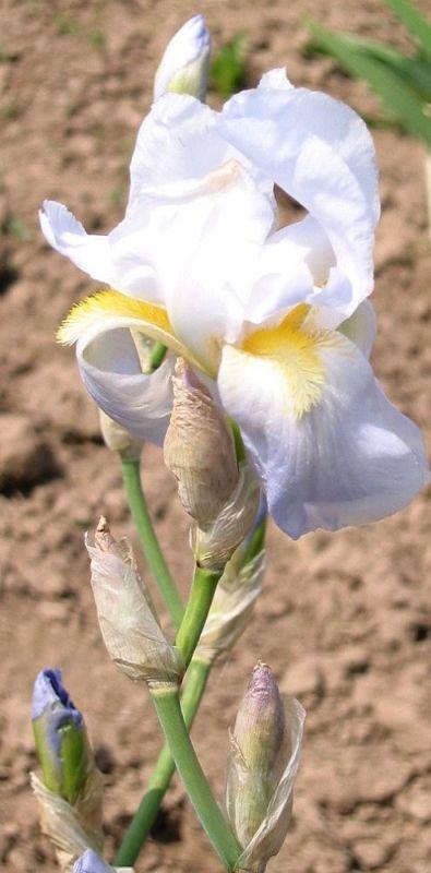 rechercher Iris par Milan Blazek Leotar10