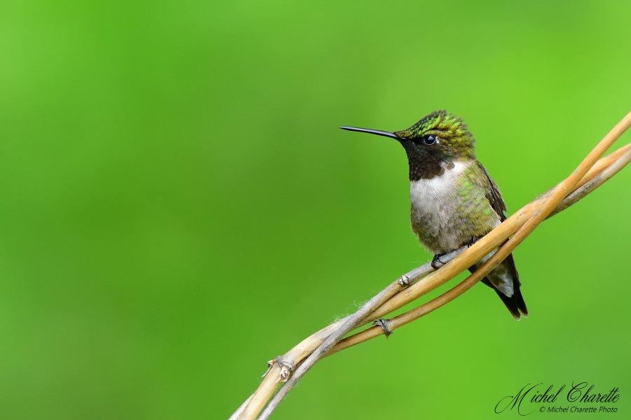 Colibri - Deux profils, deux couleurs 500_0310