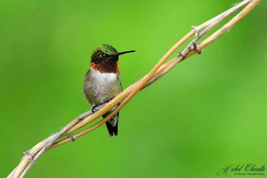 Colibri - Deux profils, deux couleurs 500_0311