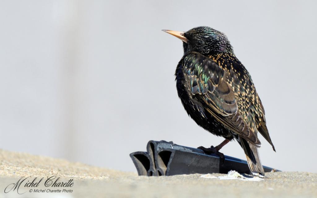 les oiseaux noirs ... quand même bien colorés. _8501111