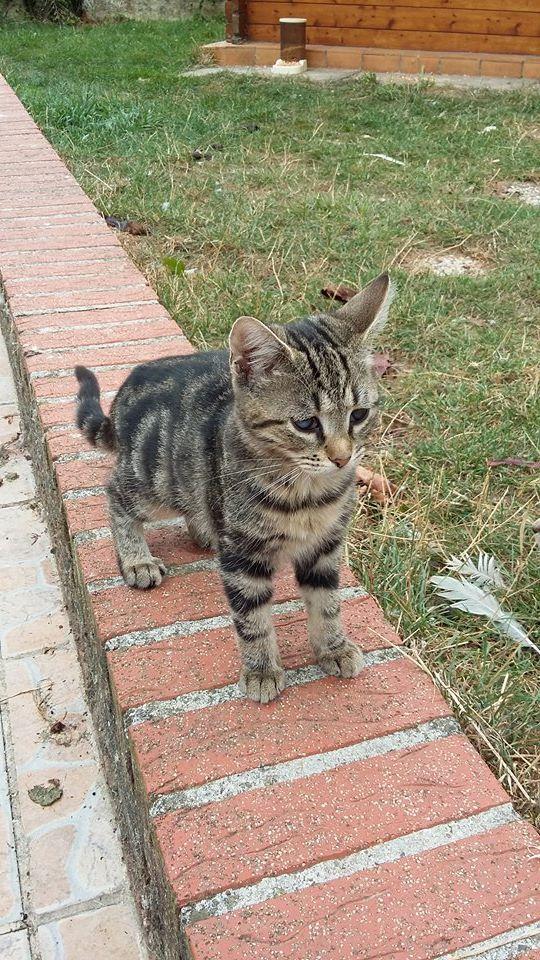 Féline, adorable tigrée 14182411