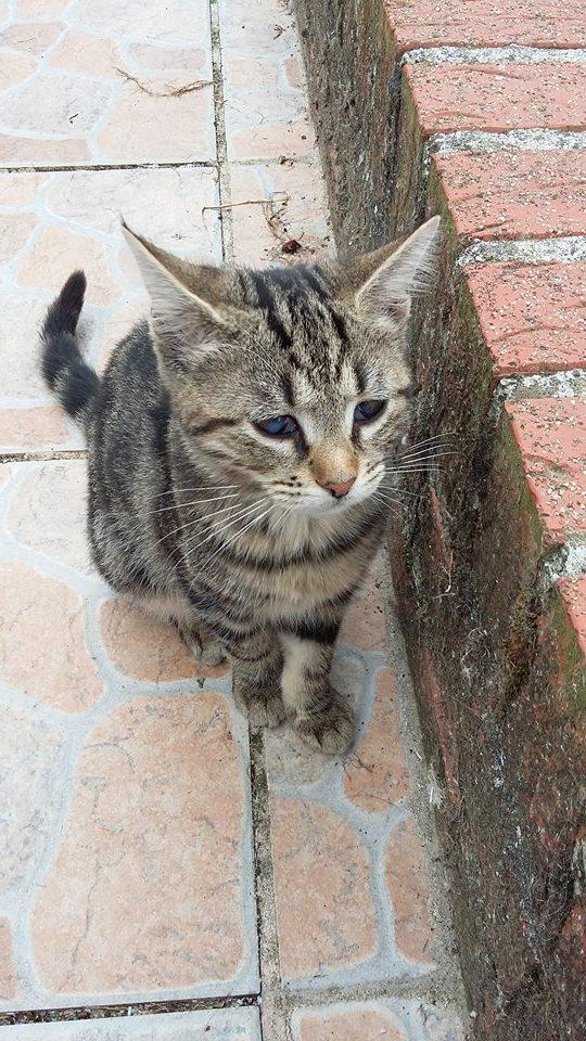 Féline, adorable tigrée 14217910