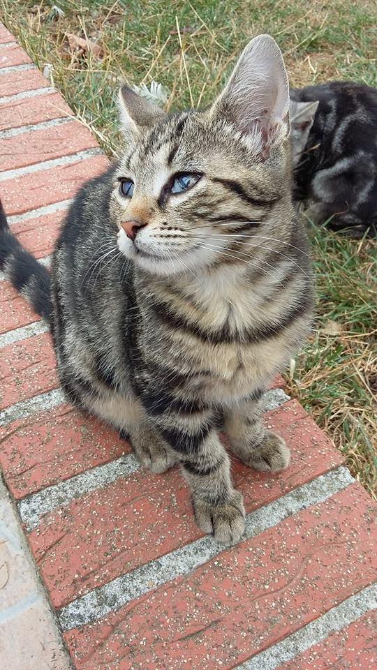 Féline, adorable tigrée 14218110