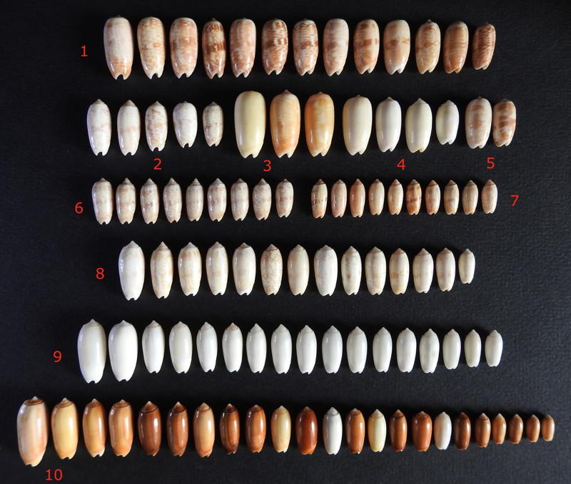 Olividae todosina à confirmer - Post identifications multiples  Todosi11