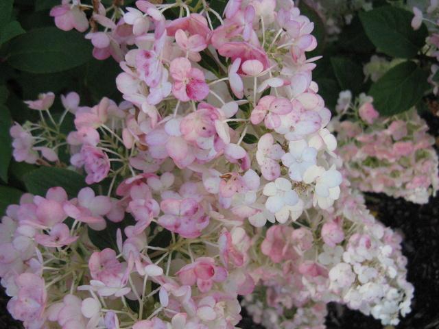Hydrangea paniculata Sundae Fraise Img_1911