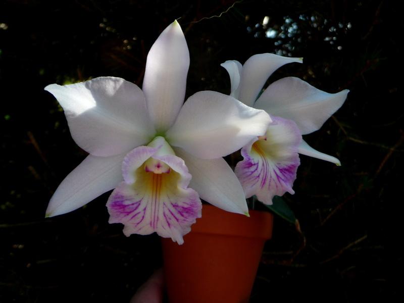 L. alaorii x C. nobilior P1360313