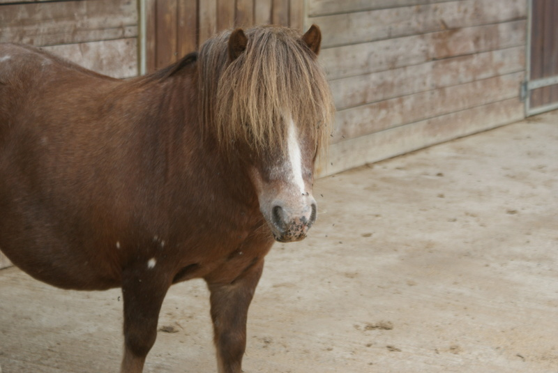 Tomy, poney hongre Dsc02331