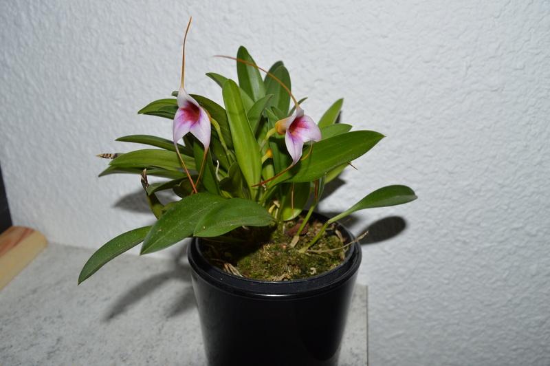 Masdevallia hybride Dsc_0214