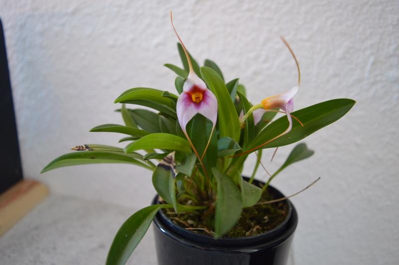 Masdevallia hybride Dsc_0215