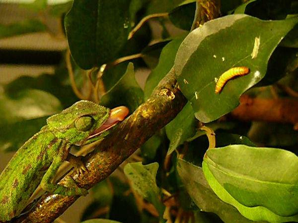 Le caméléon à Tasmanix Miam10