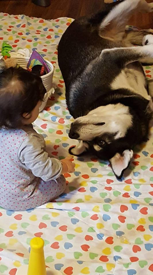Suggestion on adopting a 2 year old husky Evie_a10