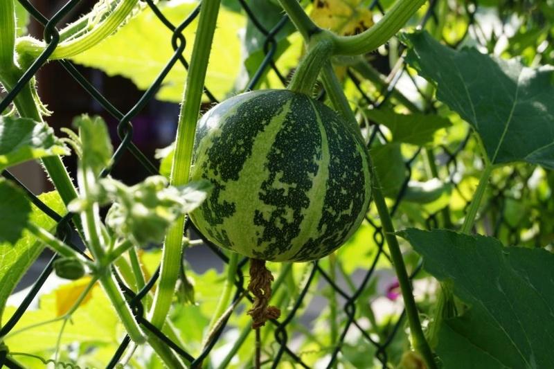 Kürbisgewächse - Cucurbitaceae: Melonen, Gurken, Kürbisse und Zucchini - alle Verteter der nichtsukkulenten Arten - Seite 2 Dsc07518