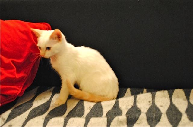 Mélodie, femelle type européenne blanche crème rousse née le 10/07/2016 Dsc_0710