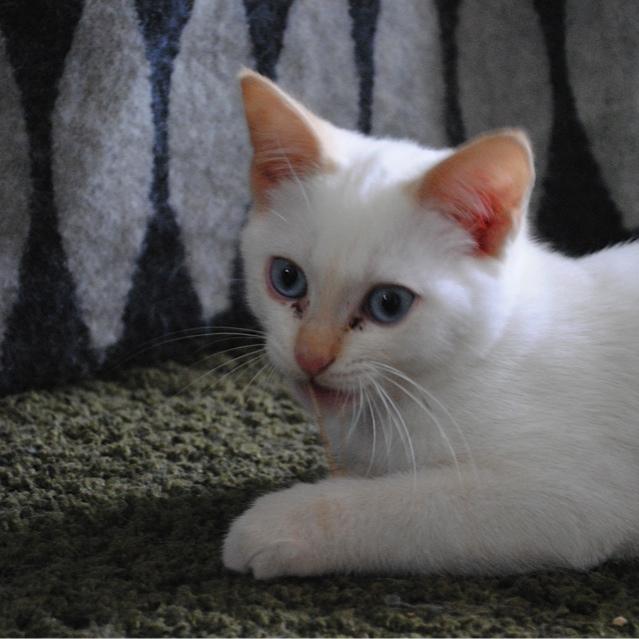 Mélodie, femelle type européenne blanche crème rousse née le 10/07/2016 Dsc_0712