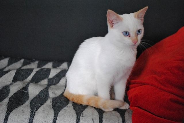 Mélodie, femelle type européenne blanche crème rousse née le 10/07/2016 Dsc_0719