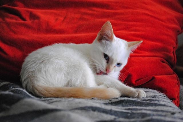 Mélodie, femelle type européenne blanche crème rousse née le 10/07/2016 Dsc_0720