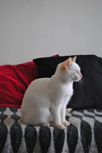Mélodie, femelle type européenne blanche crème rousse née le 10/07/2016 Dsc_0721