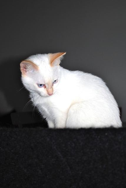 Mélodie, femelle type européenne blanche crème rousse née le 10/07/2016 - Page 2 Dsc_0815
