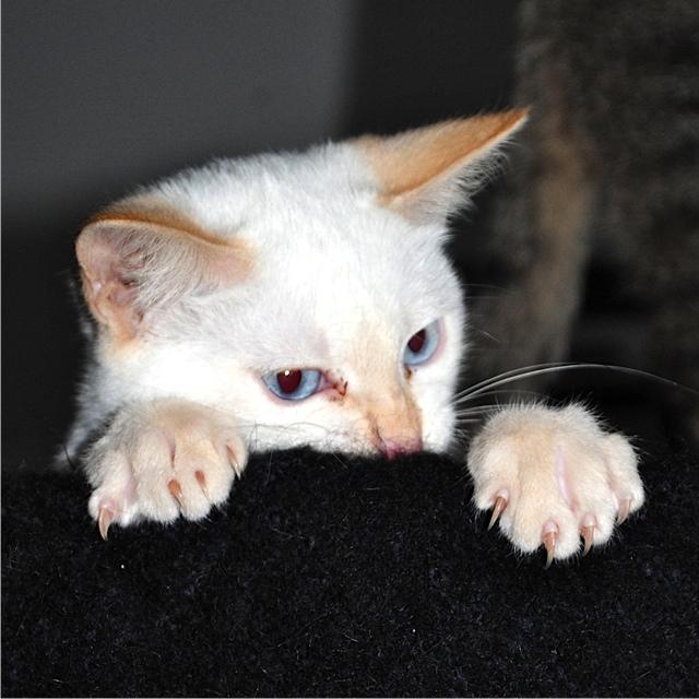 Mélodie, femelle type européenne blanche crème rousse née le 10/07/2016 - Page 2 Dsc_0816