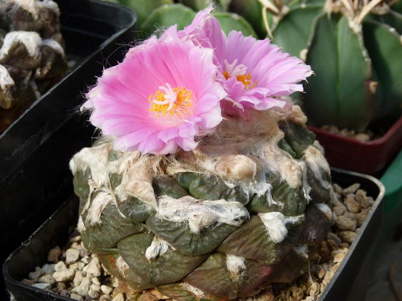 Ariocarpus lloydii P1180210