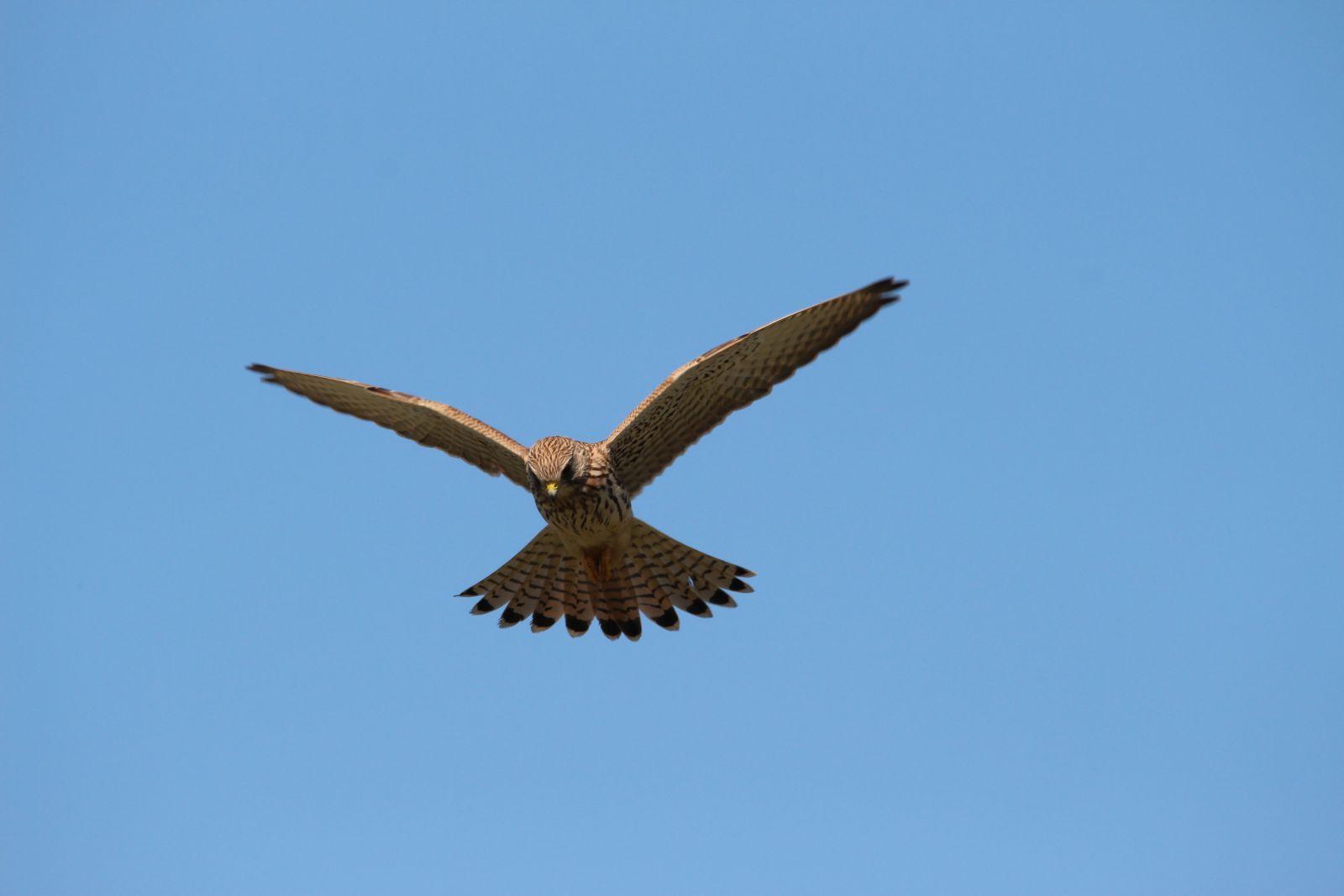 Der Falke / Die Falken 1412