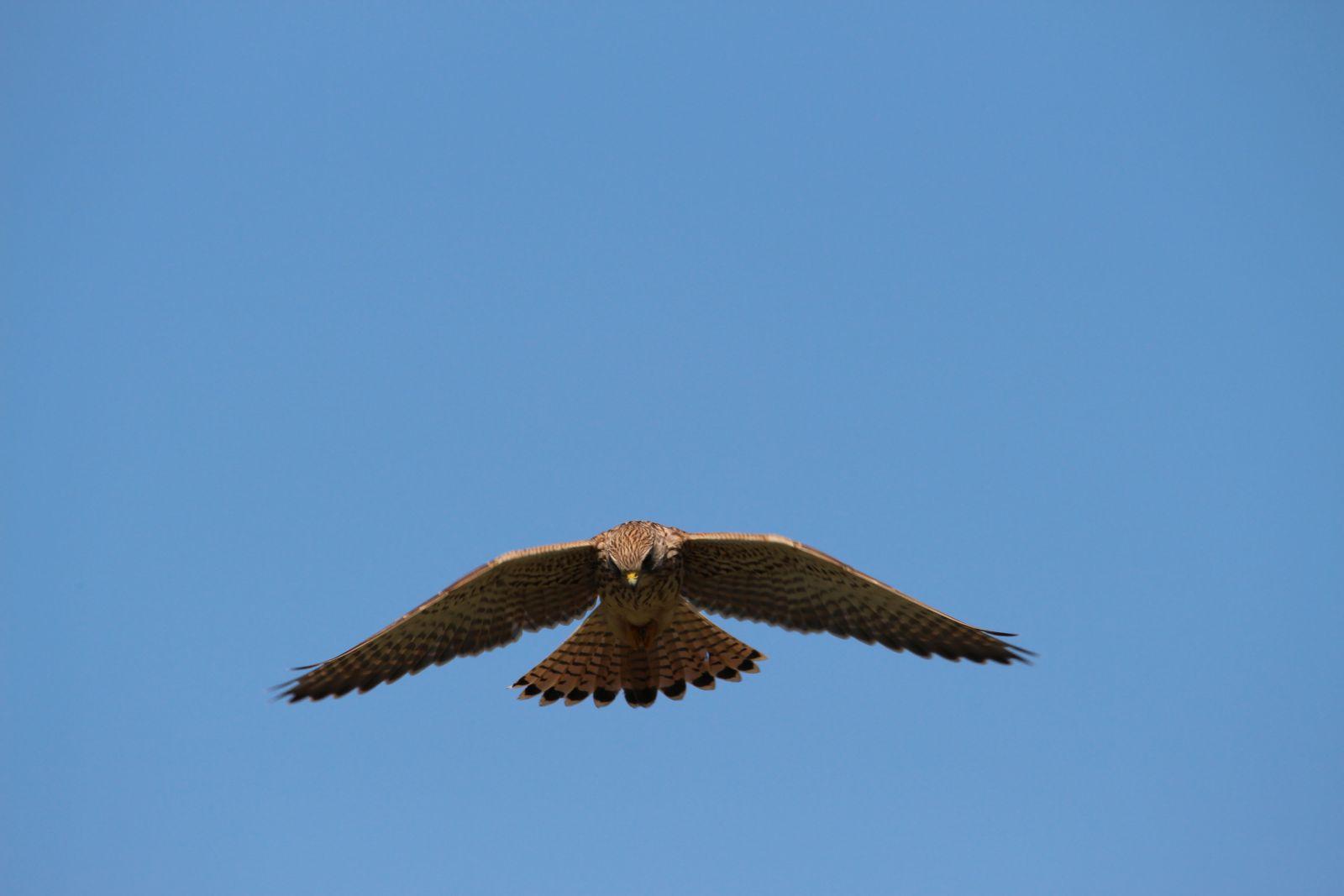 Der Falke / Die Falken 1512