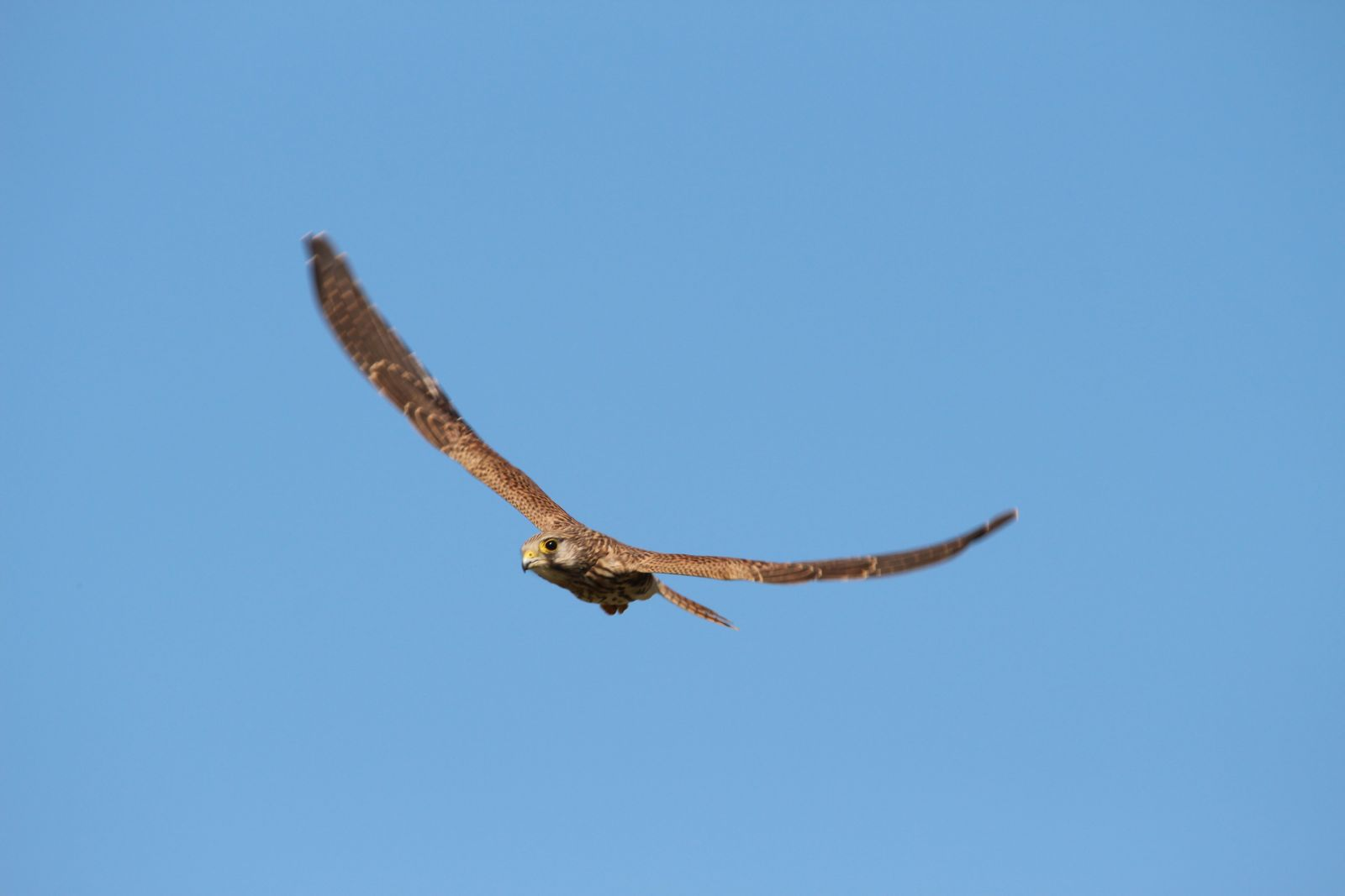 Der Falke / Die Falken 1712