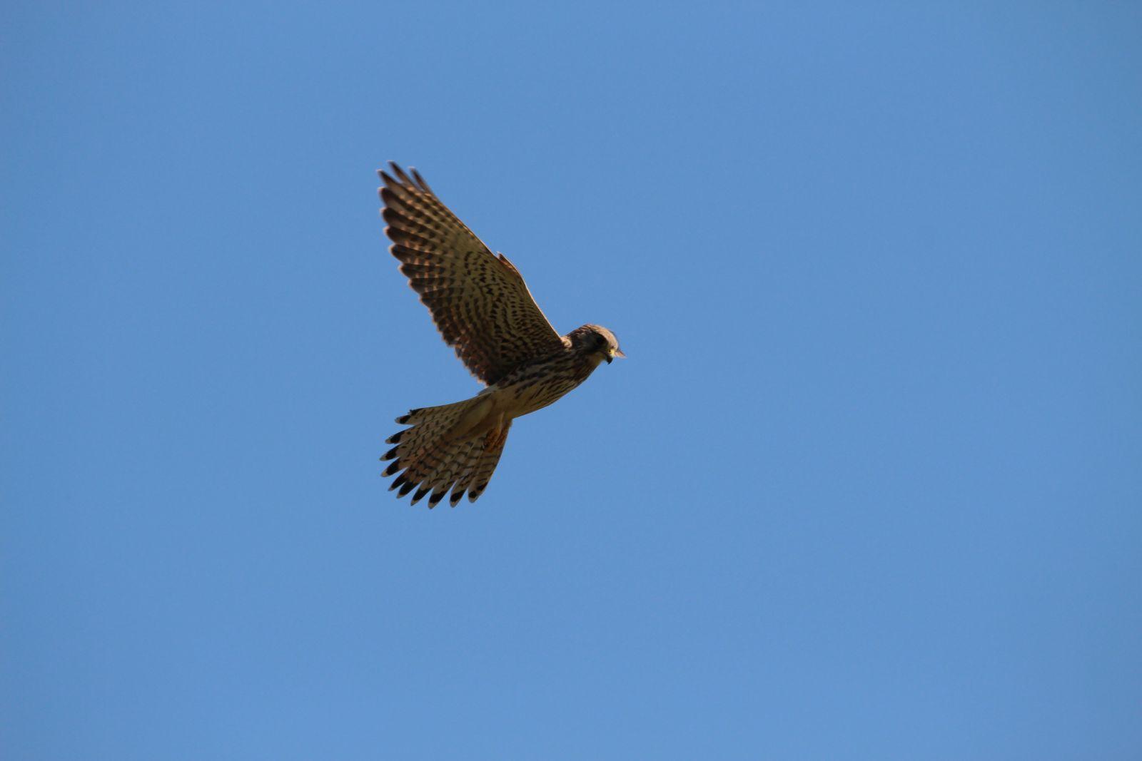 Der Falke / Die Falken 1811